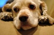 Img perros cancer quimioterapia mascotas animales salud enfermedades listado