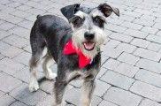 Img perros collares pajaritas accesorios bandanas mascotas animales caseros decorar listado