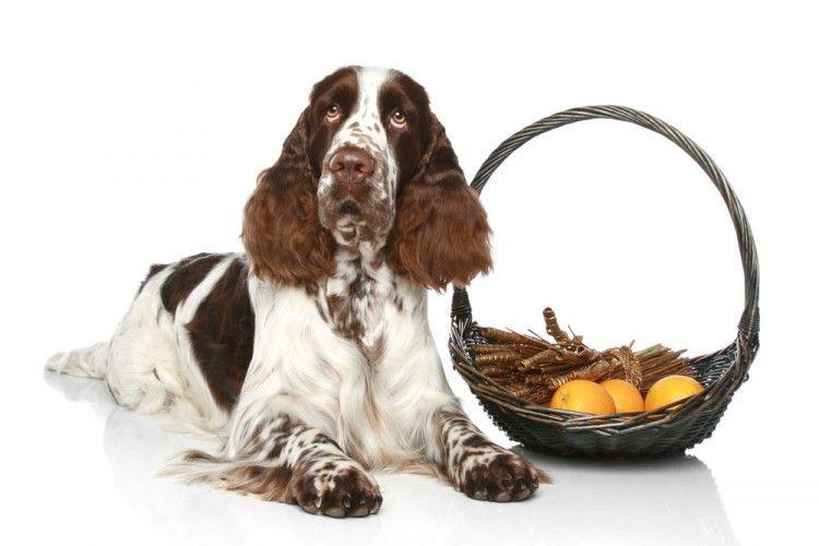 Img perros comer naranjas peligros1 art