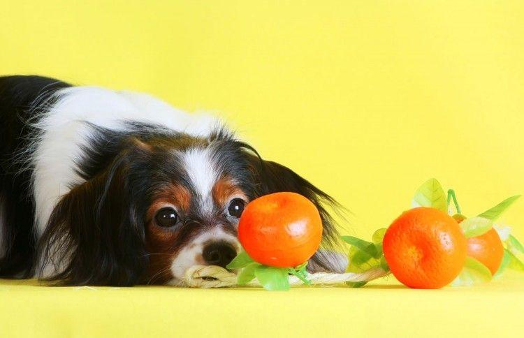 Img perros comer naranjas peligros3 art