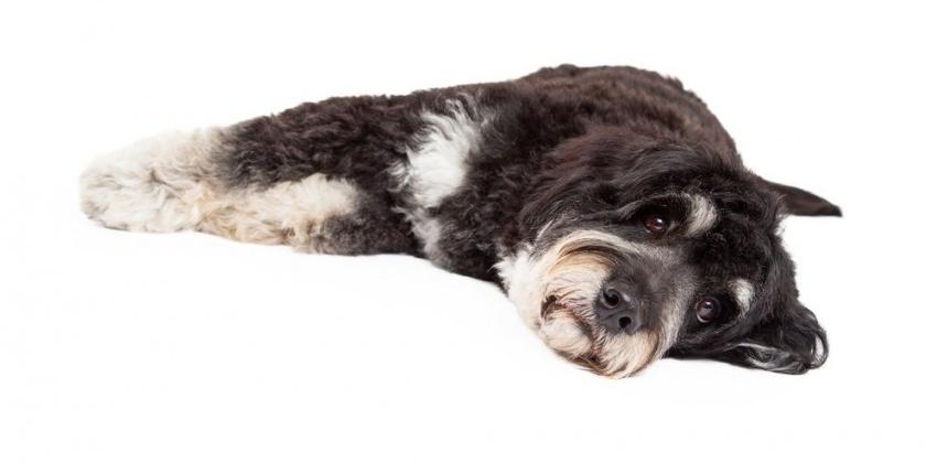 img_perros cushing enfermedad