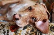 Img perros diarreas consejos alimentacion salud animales mascotas listado