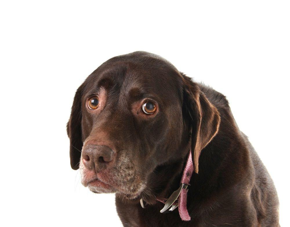 Img perros diarreas consejos