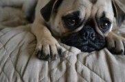 Img perros diestros zurdos descubrir beneficios agresividad educadores perros mascotas listado