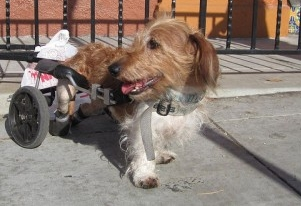 Img perros discapacitados curar celulas hocico paralisis art