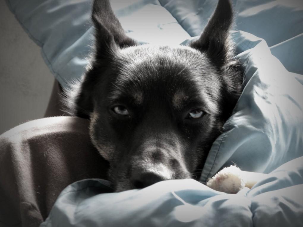 Img perros enfermedades corazones