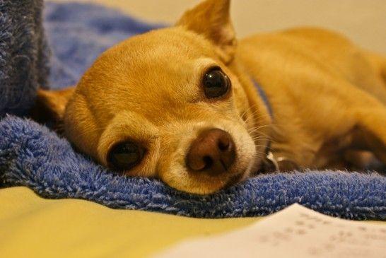Img perros enfermos alimentar listg