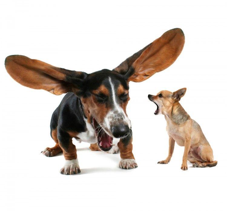 Img perros estornudos art
