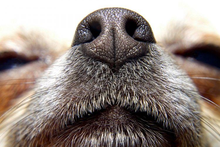 Img perros estornudos nariz art