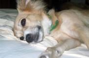Img perros filariosis filaria enfermedades gusanos parasitos animales mascotas salud listado