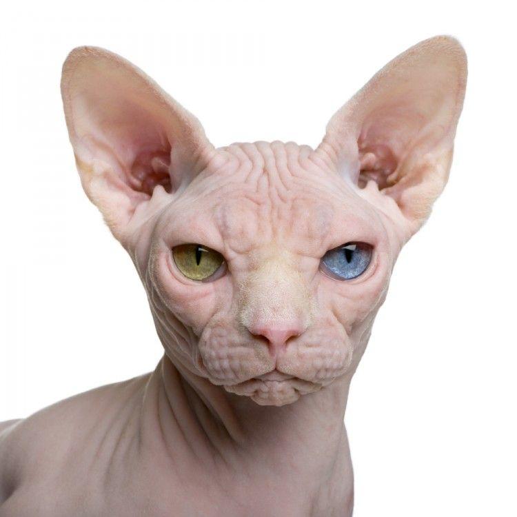 Img perros gatos no dan alergia hipoalergenicos3 art