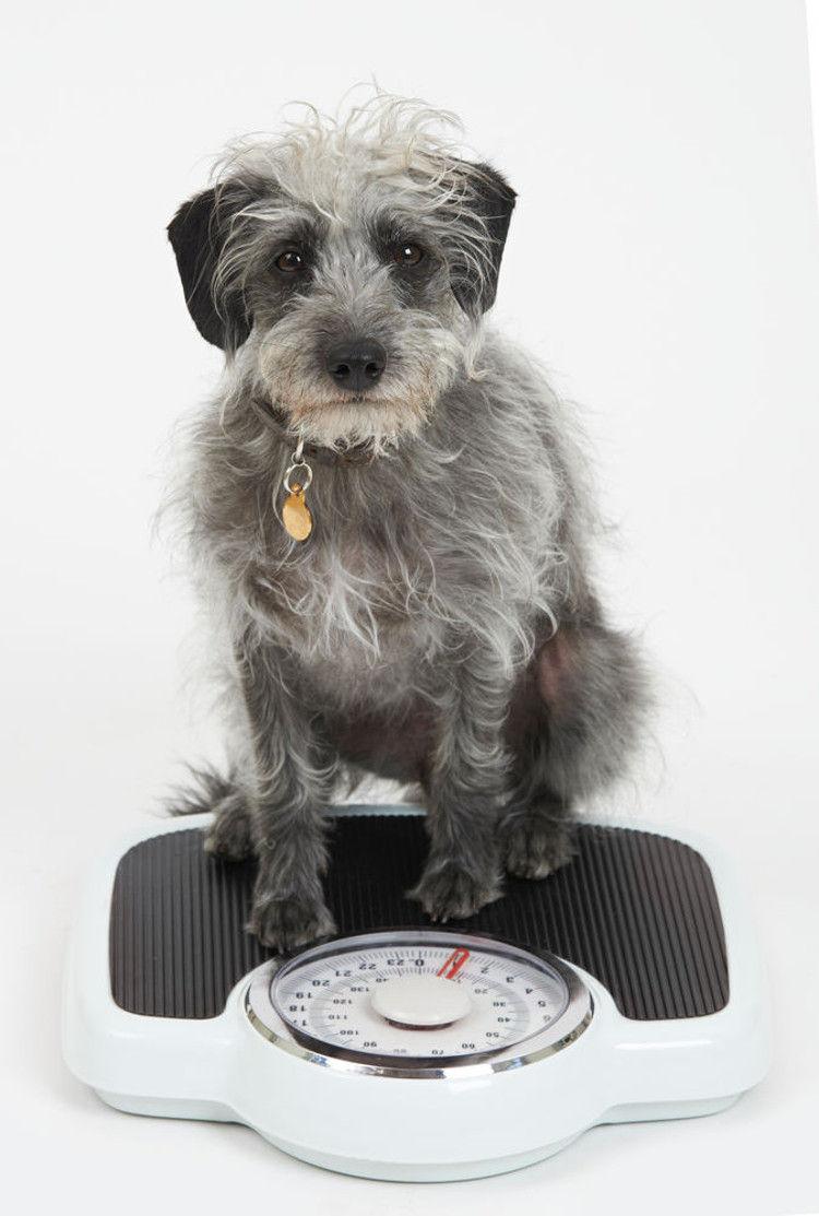 Img perros gatos perdida peso enfermedades1 art