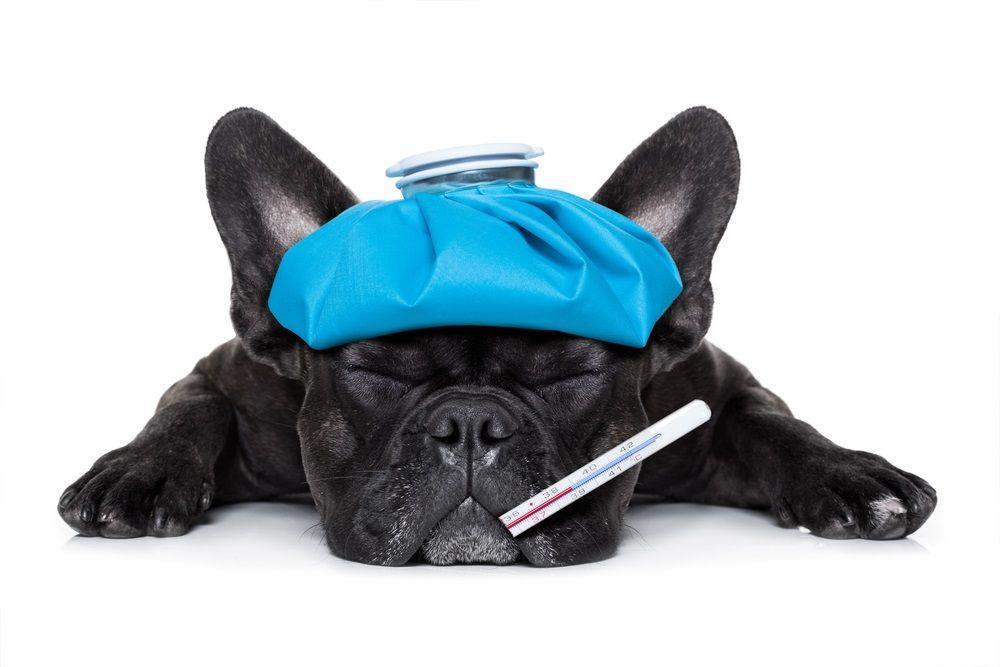 img_perros gripe