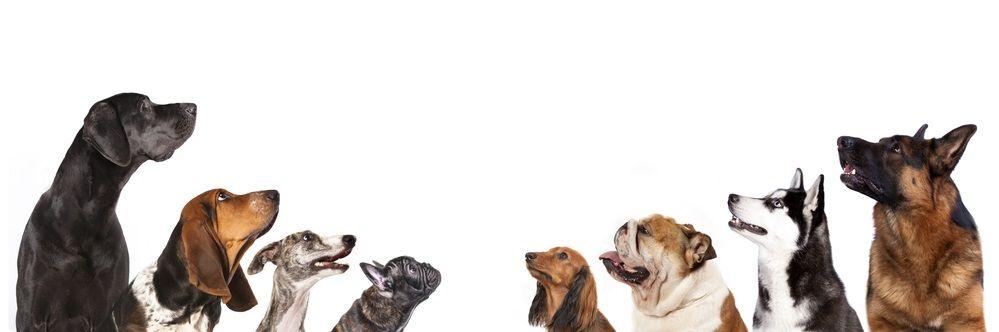 Img perros inteligentes