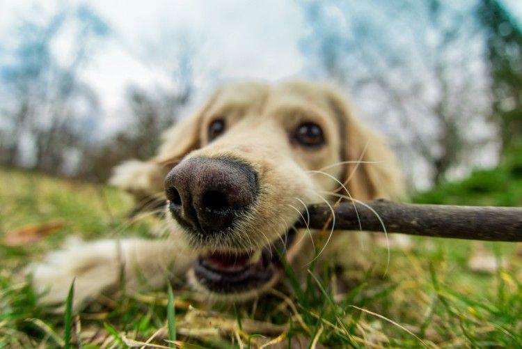 Img perros jugar palos peligros 2 art