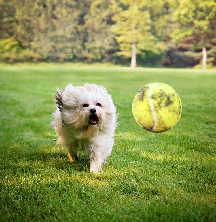 Img perros juguetes pelotas correr art