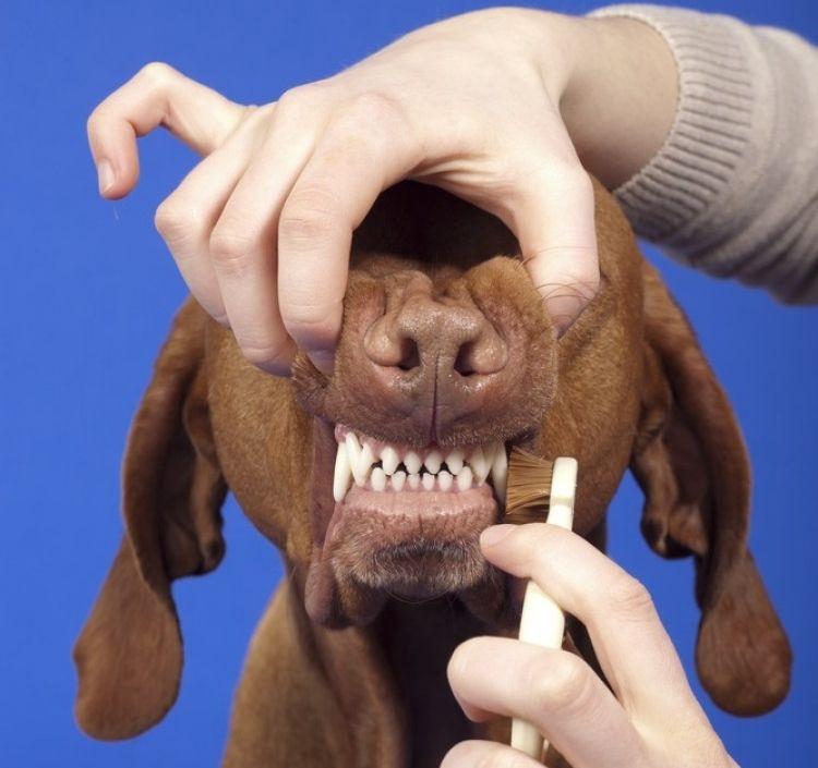 Img perros limpiar dientes trucos arti