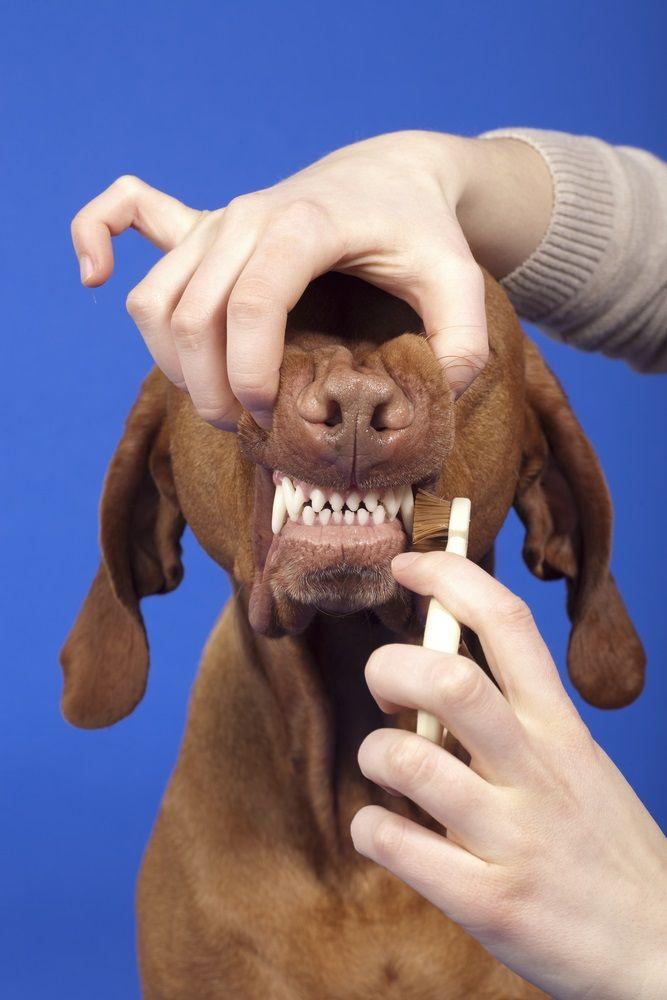 Img perros limpiar dientes trucos
