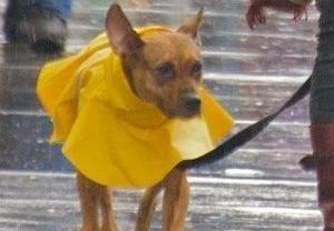 Img perros lluvia chubasqueros art
