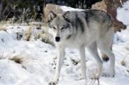 Img perros lobos diferencias semejanzas distintos especies animales mascotas listado