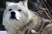 Img perros lobos evolucion semejanzas alimentacion humanos listado