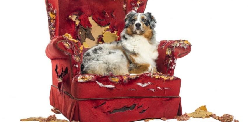 Això és el que has de fer perquè el teu gos no mossegui els mobles