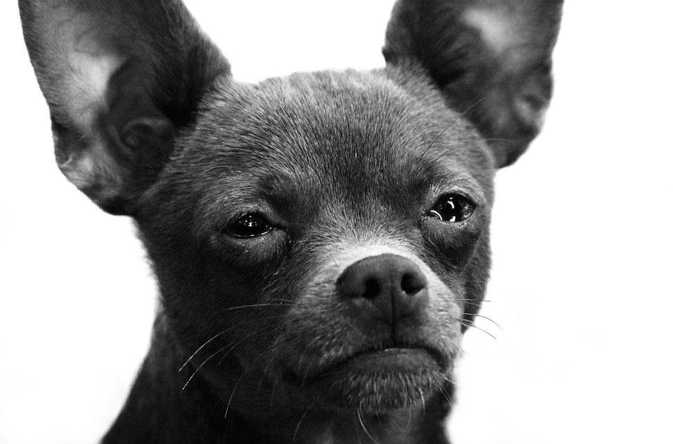 Img perros muy delgados anorexias alimentos mascotas animales consejos
