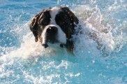 Img perros nadadores rescate emergencias animales nadar agua mar pescadores listado