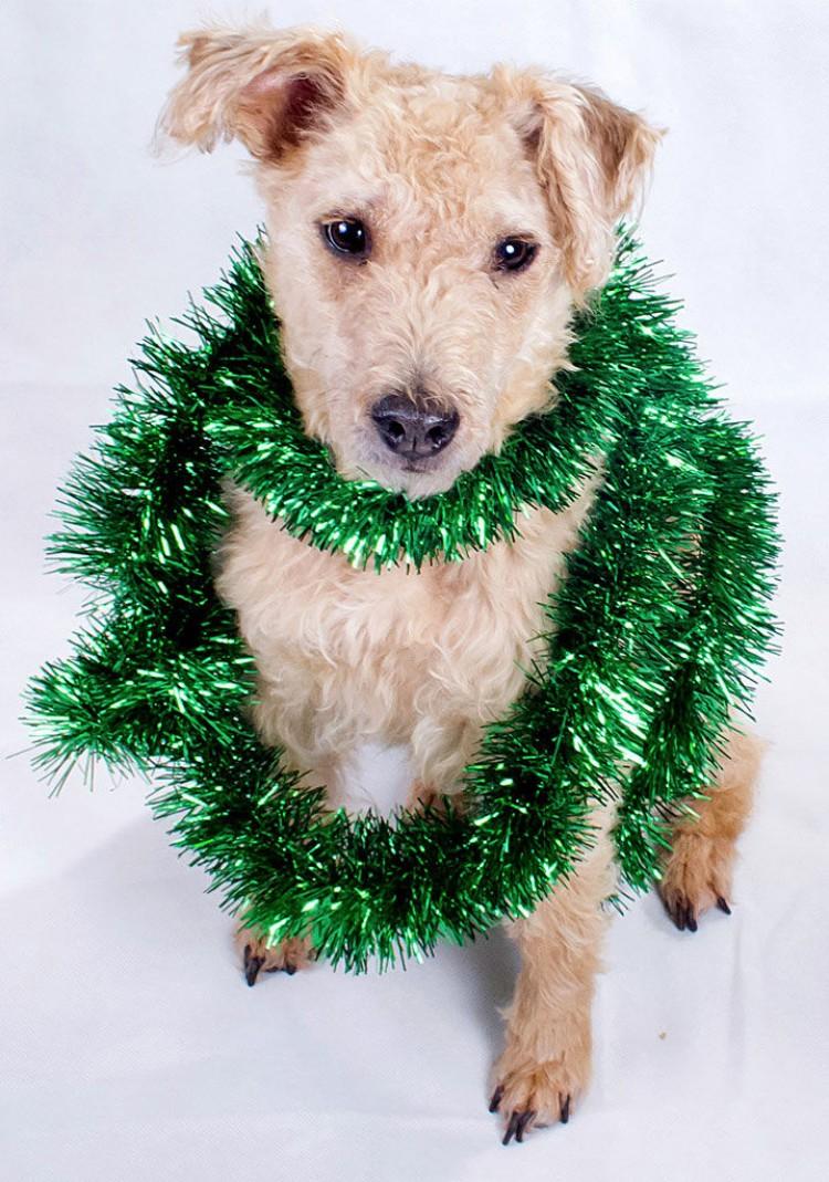 Img perros navidad peligros adornos artjpg