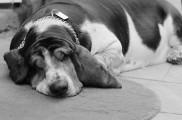Img perros obesidad alimentar alimentacion mascotas sobrepeso dieta animales listado