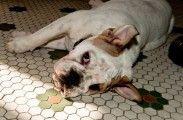 Img perros obesidad sobrepeso mascotas peligros alimentar diabetes listado