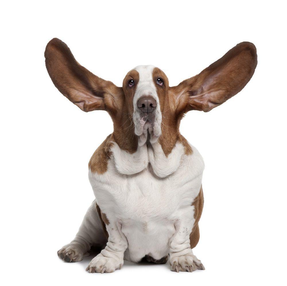 Img perros orejas cuidados otitis