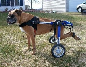 Img perros paralisticos discapacidades ciencia andar celulas madres hocico art