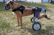 Img perros paralisticos discapacidades ciencia andar celulas madres hocico listado