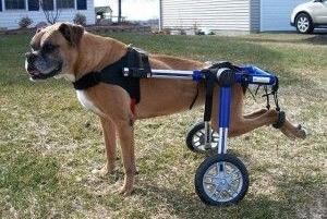 Img perros paraliticos discapacidades ciencia andar celulas madres hocico art
