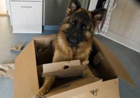 Img perros pastores alemanes convivir ranking art