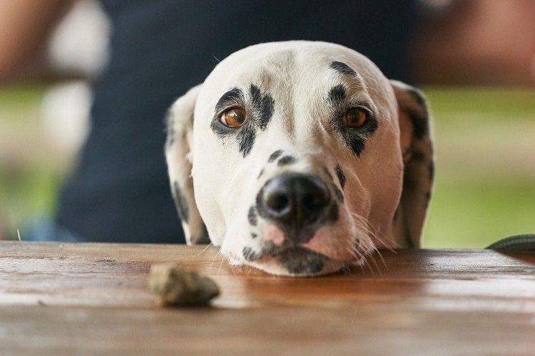 Img perros pedir comida trucos art