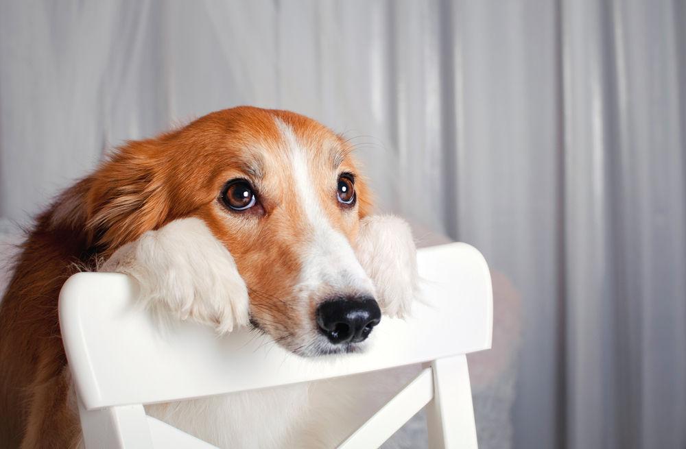 Masturbació en gossos: tot el que has de saber