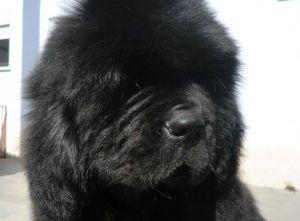 Img perros terranovas salvamento martitimos rescates mar animales mascotas art