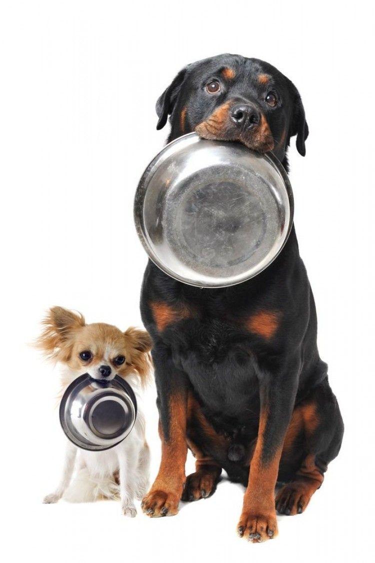 Img perros torsion estomago comida art