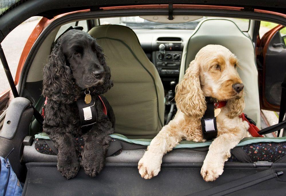 img_perros viajar coches 3