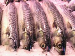 Img pescadoazul1