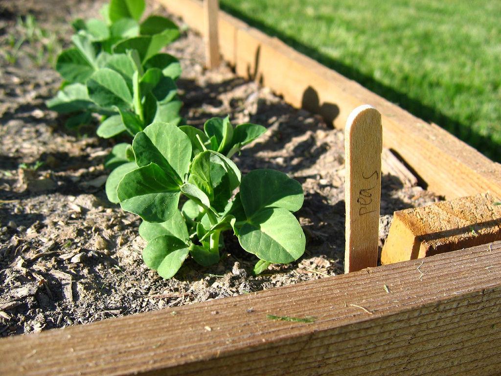Img plantar guisantes