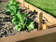 Img plantar guisantes1