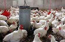 Img pollo1