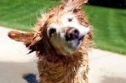 Img por que perro mojado sacude fuerte listado