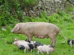 Img porco