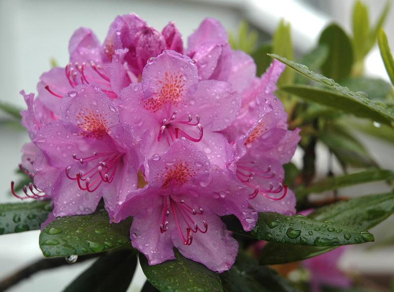 Img rododendro rosa