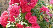 Img rosal