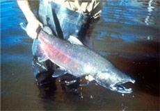 Img salmon3